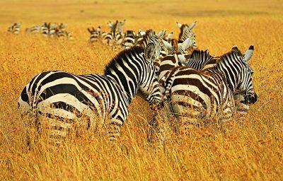 De ce trăiesc zebrele în savană?
